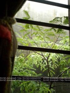 tamarindus indica di luar jendela kamar