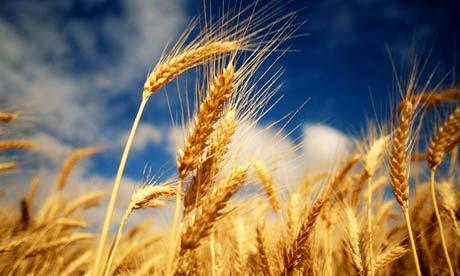 ladang gandum