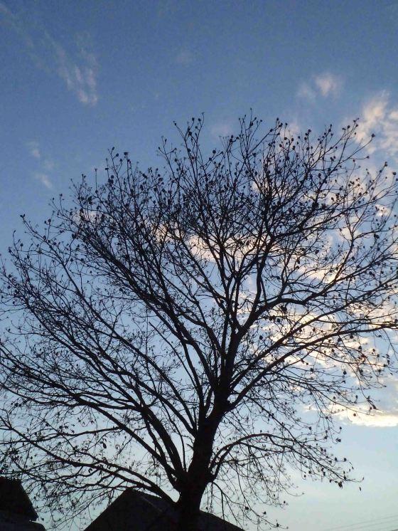a leafless mahogany