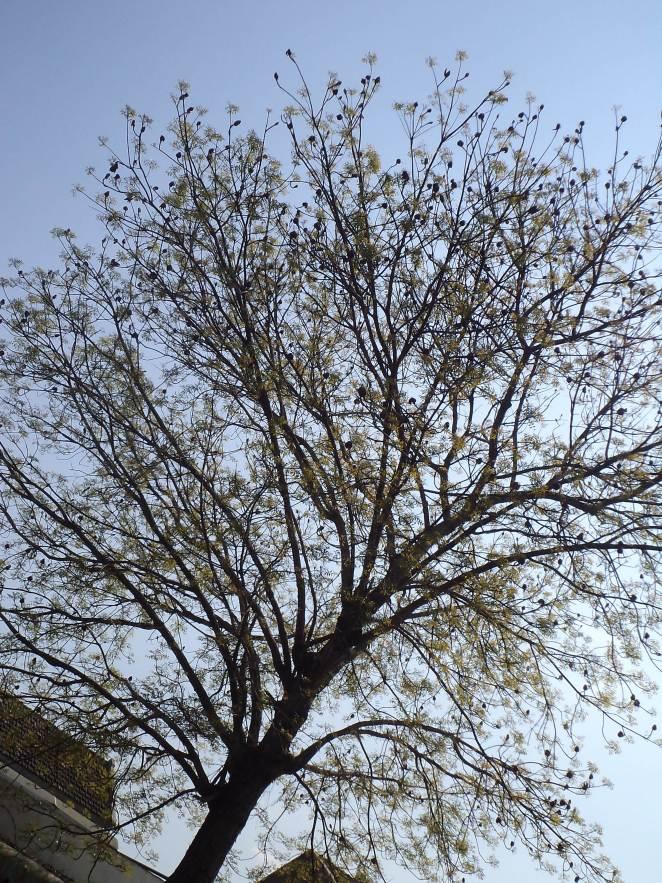 tunas tunas bermunculan di pohon mahoni