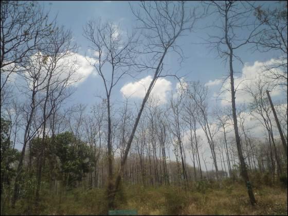 hutan jati saradan-caruban