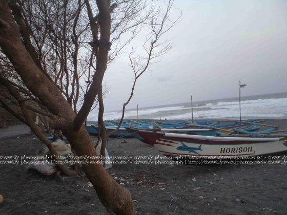 cemara Pantai Kuaru