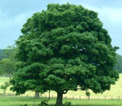 Pohon (courtesy : Google)