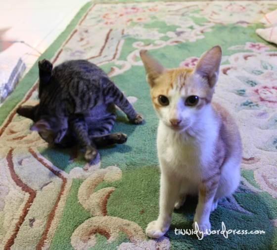 Kucing (Minyin dan Middie)