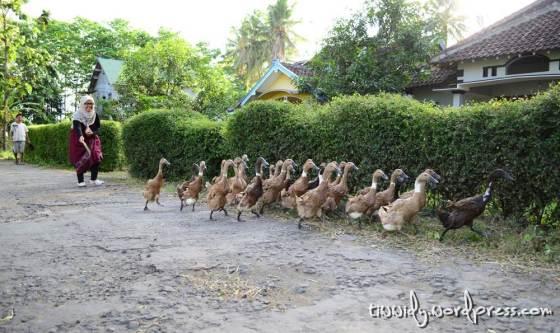Bebek, Joglo Abang.. Foto by Mas Ndop
